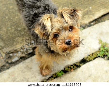 Cute picture of a Yorkshire Terrier puppy standing and looking at the camera. Little yorkie dog.