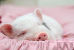 cute pig sleeps on a striped blanket. Christmas pig