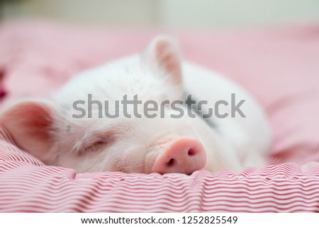 cute pig sleeps on a striped blanket. Christmas pig