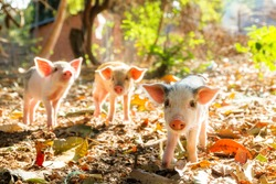 Cute piglets in the morning sun in Madagascar