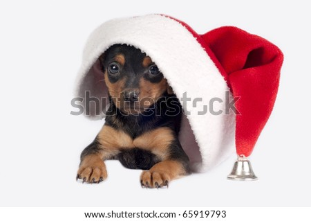 Cute Pincher puppy with Santa hat on a white background.