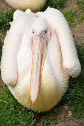 cute pink pelican getting comfortable near lake going to sleep after long day, big bird and beak.