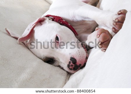 Cute pitbull mix dog with a brown eye patch