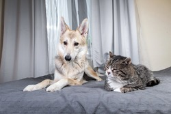 Cute playful dog lying on covered with gray sheet bed and looking at tranquil lying cat in bedroom