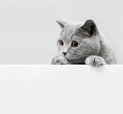 Cute playful grey cat leaning out. Domestic animals. British shorthair cat.