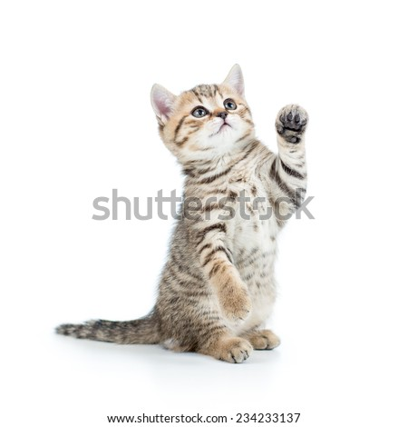 cute playful kitten cat isolated on white #234233137
