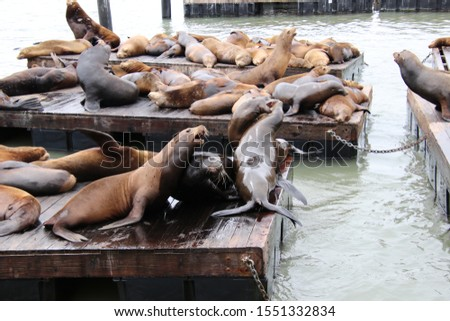 Cute, playful sea lion marine mammals on wooden waterfront pier.  #1551332834
