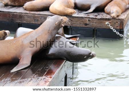 Cute, playful sea lion marine mammals on wooden waterfront pier.  #1551332897