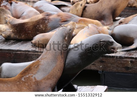Cute, playful sea lion marine mammals on wooden waterfront pier.  #1551332912