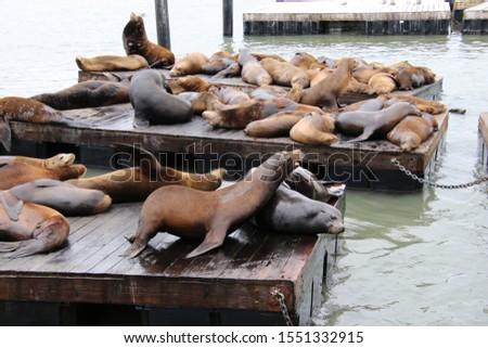 Cute, playful sea lion marine mammals on wooden waterfront pier.  #1551332915