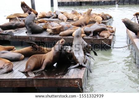 Cute, playful sea lion marine mammals on wooden waterfront pier.  #1551332939