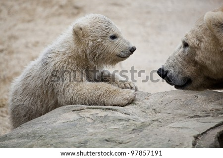 cute polar bear with mother