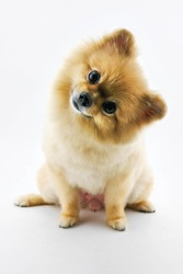 Cute pomeranian dog confuse over white background