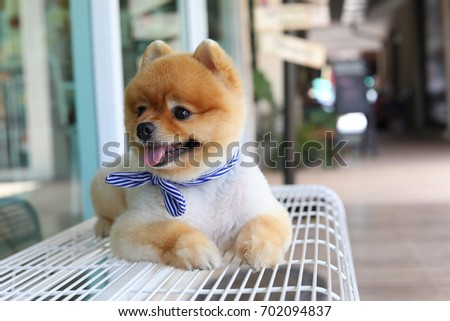 cute pomeranian dog happy smile laying on seat bench waiting owner in front of cafe, pets grooming short hair style round face #702094837