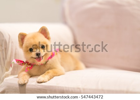 Cute Pomeranian dog smiling on the sofa with copy space, cowboy bandana or handkerchief on the neck