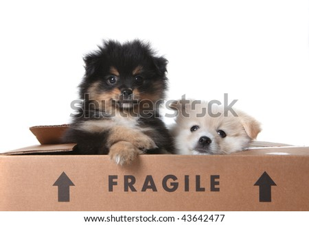 Cute Pomeranian Puppies Inside a Cardboard Box With FRAGILE Written on it