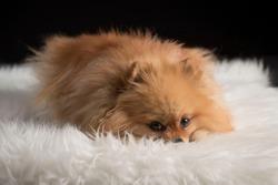 Cute pomeranian puppy laying on a fluffy carpet