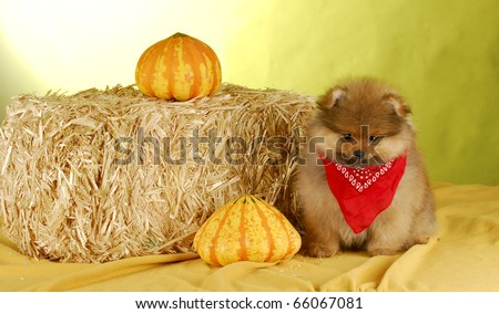 cute pomeranian puppy wearing sitting in autumn setting on yellow background