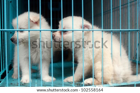 Cute pomeranian pups inside a cage on display for sale