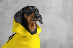 cute portrait of a dog of a Dachshund breed, black and tan, dressed with a cloak with a hood on a gray background. Dog clothes