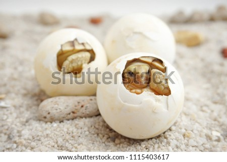 Cute portrait of baby tortoise hatching (Africa spurred tortoise) ,Birth of new life ,Closeup of a small newborn tortoise ,Slow life ,Cute baby animal make you smile