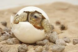 Cute portrait of baby tortoise hatching ,Birth of new life ,Closeup of a small newborn tortoise ,Cute portrait of baby tortoise ,African Sulcata Tortoise Natural Habitat