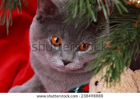 Cute portrait of gray british cat and toy teddy bear on Christmas on holiday theme/Curious cat on Christmas