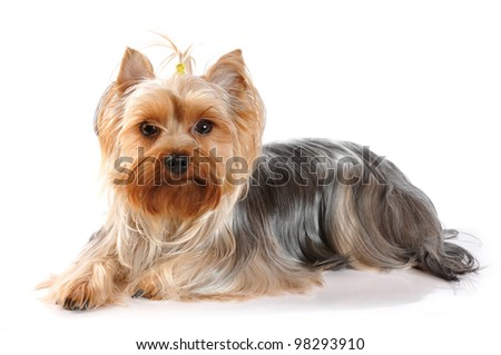 Cute portrait of lying yorkshire terrier on white background