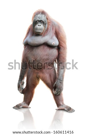 cute portrait of orangutan standing isolated on white background