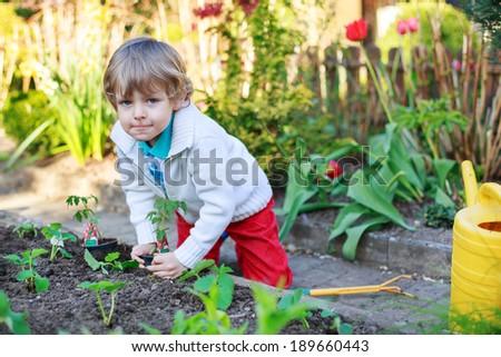 Cute preschool blond boy planting seeds and seedlings of tomatoes in vegetable garden #189660443