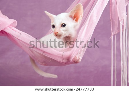 Cute pretty Oriental Siamese kitten on pink background, lying in pink fabric hammock