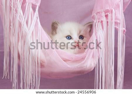 Cute pretty Ragdoll kitten in pink fabric hammock on pink background
