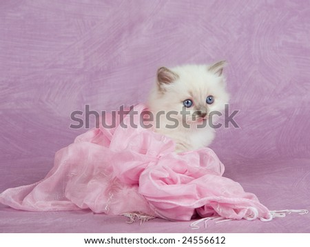 Cute pretty Ragdoll kitten sitting on pink background, wrapped in pink scarf with fringes