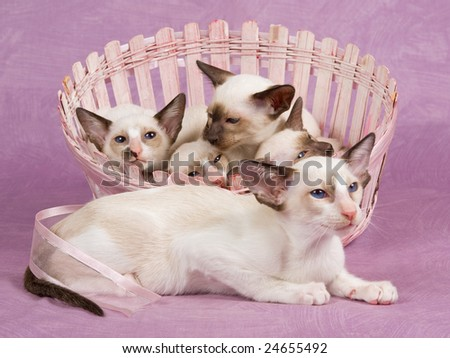 Cute pretty Siamese Oriental kittens in pink basket on pink background fabric