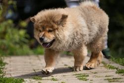 Cute puffy Chow Chow dog