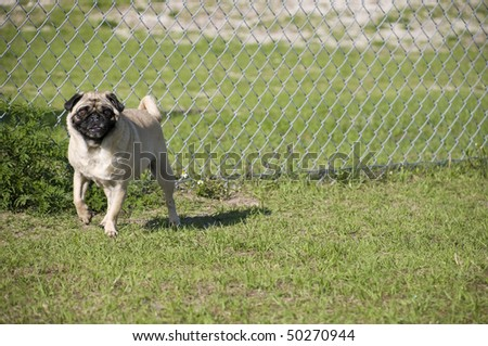 Cute Pug by Fence at Dog Park in Florida.
