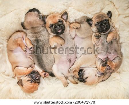 cute pug chug puppies on a lambskin blanket (SHALLOW DOF on one puppy)