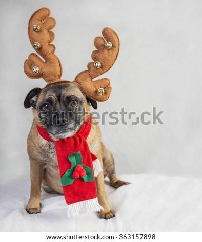 Cute Pug cross dog wearing antlers and scarf