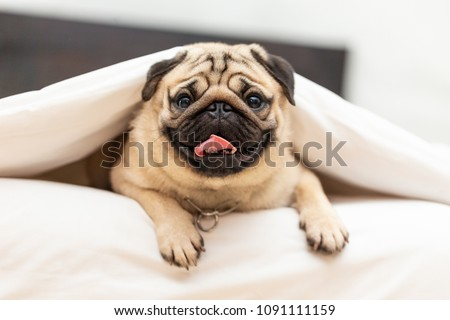 Cute pug dog breed lying in blanket on white bed in bedroom smile with funny face and feeling so happiness after wake up in the morning,Healthy Purebred dog Concept Сток-фото ©