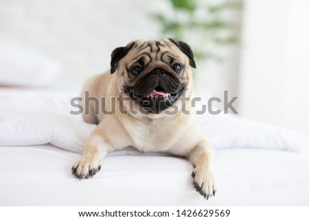 Cute pug dog breed lying on blanket on white bed in bedroom smile with funny face and feeling so happiness after wake up in the morning,Healthy Purebred dog Concept