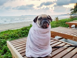 Cute Pug Dog Dries on a Beach After Swimming Wrap with a Towel