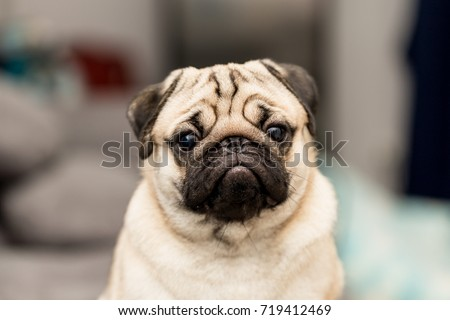 Stock Photo cute pug dog have a question and making funny face,Selective focus