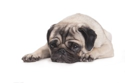 cute pug dog lying down on floor crying, isolated on white background