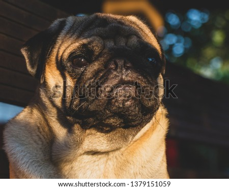 Cute pug dog pictures