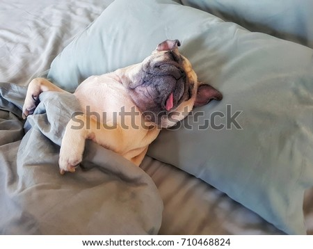Cute pug dog sleep on pillow in bed and wrap with blanket feel happy time