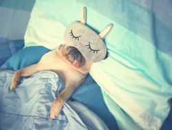 Cute pug dog sleep rest with funny mask in the bed, wrap with blanket and tongue sticking out in the lazy time