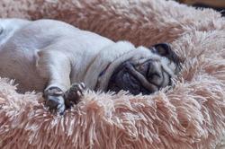 Cute pug dog sleeps deeply on his fluffy bed