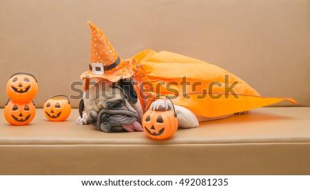 Cute pug dog with costume of happy halloween day sleep on sofa with plastic pumpkin Jack O\'Lantern