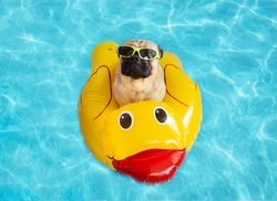 Cute pug floating in a swimming pool with a yellow duck flotation device