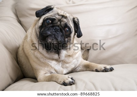 Cute Pug Laying Down with Tilted Head.